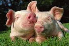 """「更三农」国庆紧张备货,猪价再次上涨,市场缺猪,环保禁养要""""背锅""""?"""